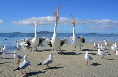 Pelicans-Near-Sea-HD-Pic