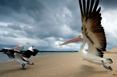 Pelicans-Near-Sea-Pic-HD