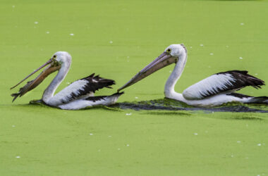 Pelicans-in-Water-HD-Pic