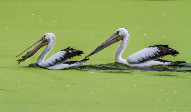Pelicans in Water HD Pic