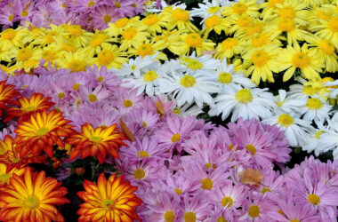 Chrysanthemum-Flowers-Full-HD-Image
