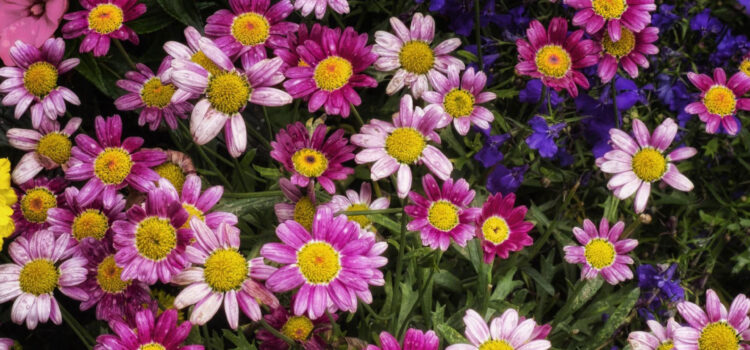 Chrysanthemum-Flowers-HD-Image
