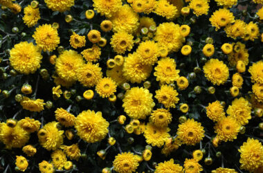 Chrysanthemum-Full-HD-Pic