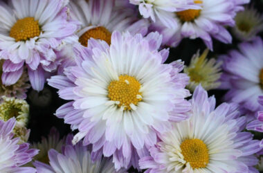 Chrysanthemum-HD-Image