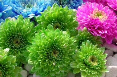 Chrysanthemum-HD-Pic