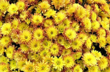 Chrysanthemum-Image-HD