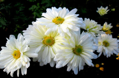White-Chrysanthemum-Flower-Pic-HD