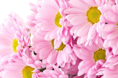 Chrysanthemum-Flowers-Image-HD