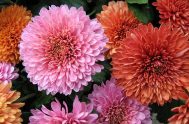 Chrysanthemum-Flowers-Pic