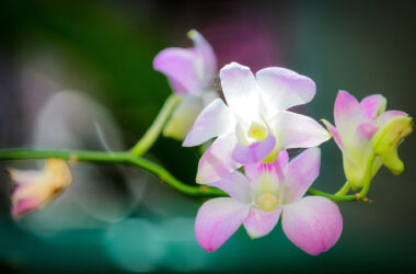 Orchid-HD-Image