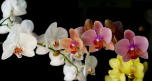 Orchids-Flower-Image-HD