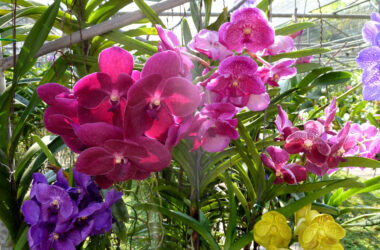 Orchids-Flower-Image-in-HD