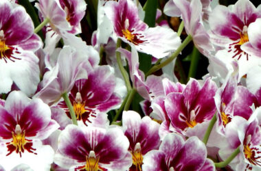 Orchids-Flower-Pic-HD