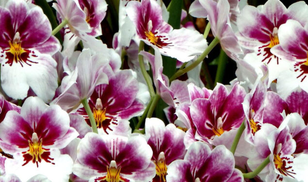 Orchids Flower Pic HD