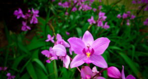 Orchids-Full-HD-Image