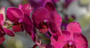 Orchids-HD-Image