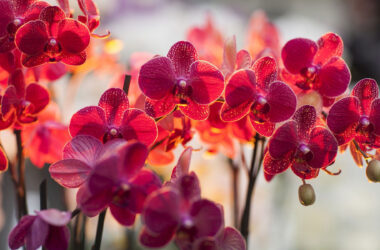 Orchids-Image-HD
