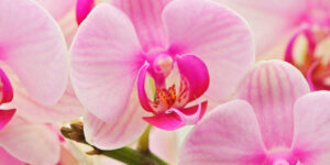 Pink Orchids Flower HD Image
