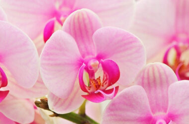 Pink-Orchids-Flower-HD-Image