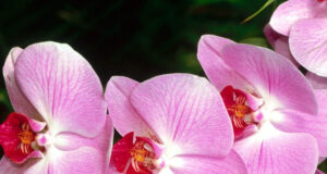 Pink-Orchids-HD-Image