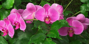 Pink Orchids Image HD