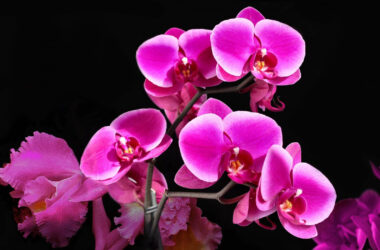Pink-Orchids-Image-in-HD