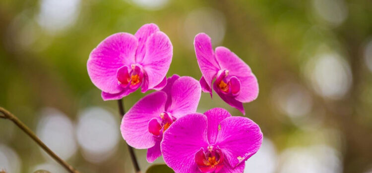 Pink-Orchids-Pic-HD