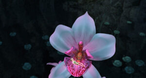 White-Orchid-HD-Image