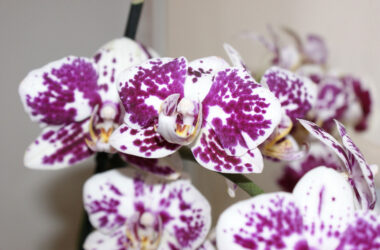 White-Orchids-Full-HD-Image