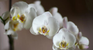 White-Orchids-HD-Image
