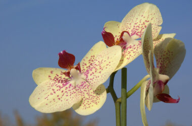 Yellow-Orchids-Flower-HD-Image