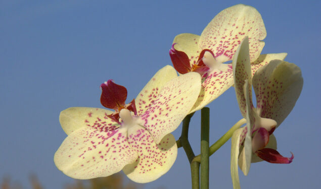 Yellow Orchids Flower HD Image